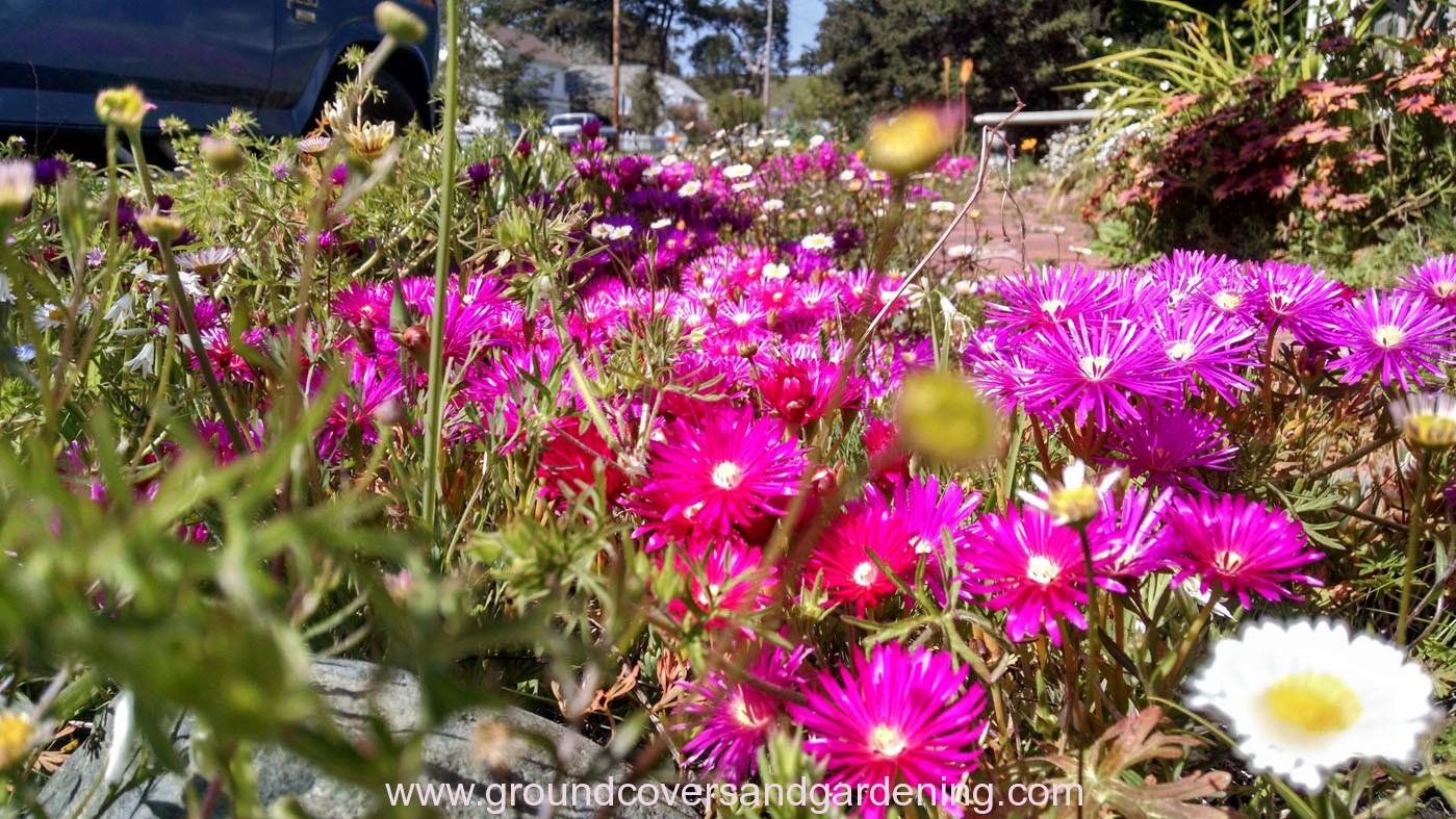 ground cover plants for sunny areas