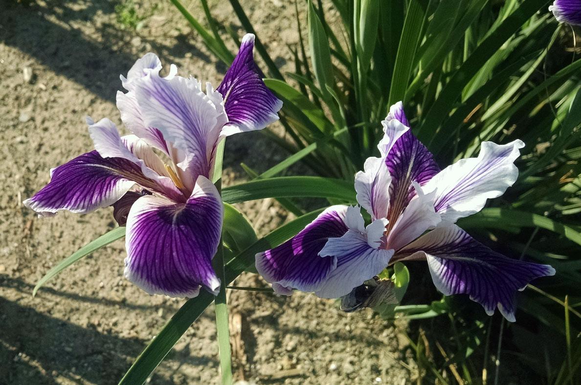 Spring Blooming Perennials Lip Smacking Irises