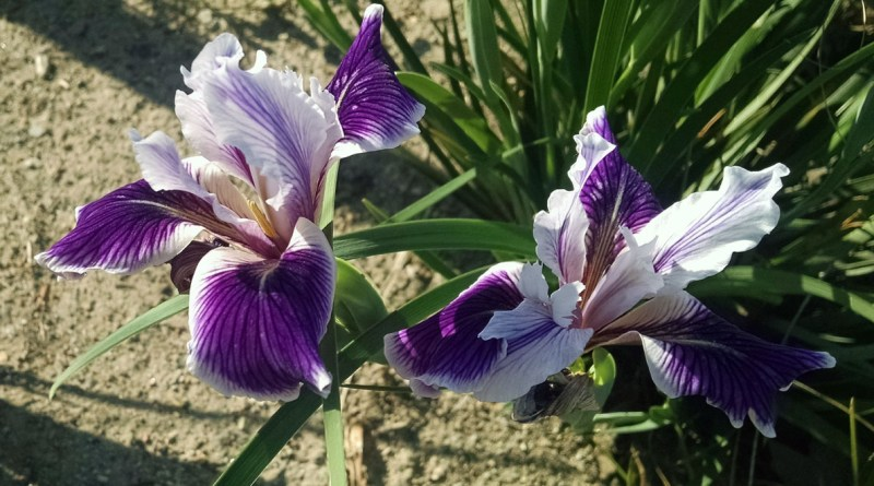 Spring blooming perennial, Douglas Iris