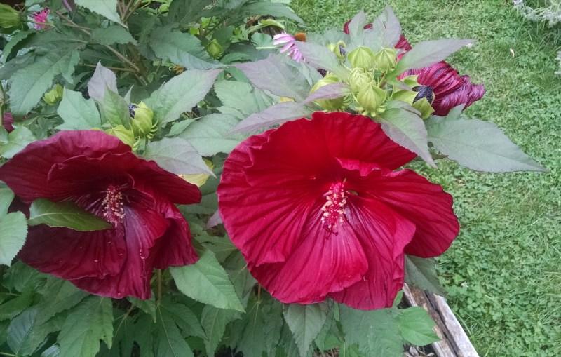 Eliz St Mallows 1024x651 Elizabeth St. Garden, An Oasis of Summer Bloomers