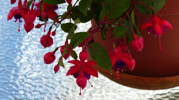 Fuchsia 1024x572 10 Top Perennials For Summer   Anywhere!