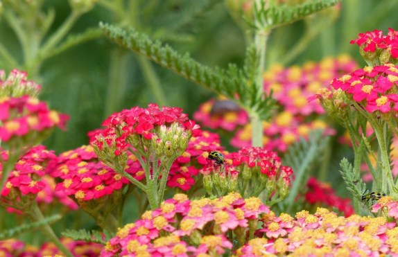 Red Yarrow 1024x662 10 Top Perennials For Summer   Anywhere!