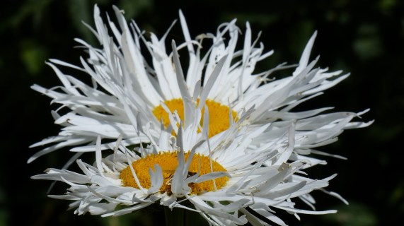 Shasta Daisies 1024x575 10 Top Perennials For Summer   Anywhere!
