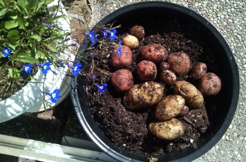 Potato crop 1024x675 From Humble Potato Harvest To Potato Gratin