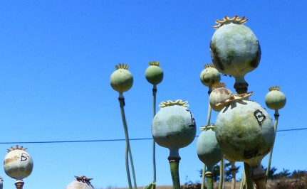 Seeds opium pods 1024x631 Turning Gardening Into Gold Harvesting Seeds.