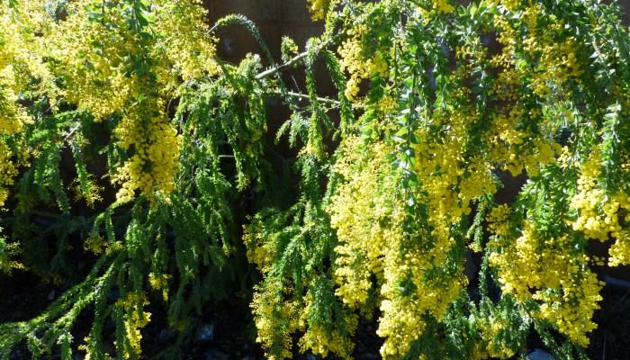 P1040151 700x400 Ruth Bancrofts Succulent Garden