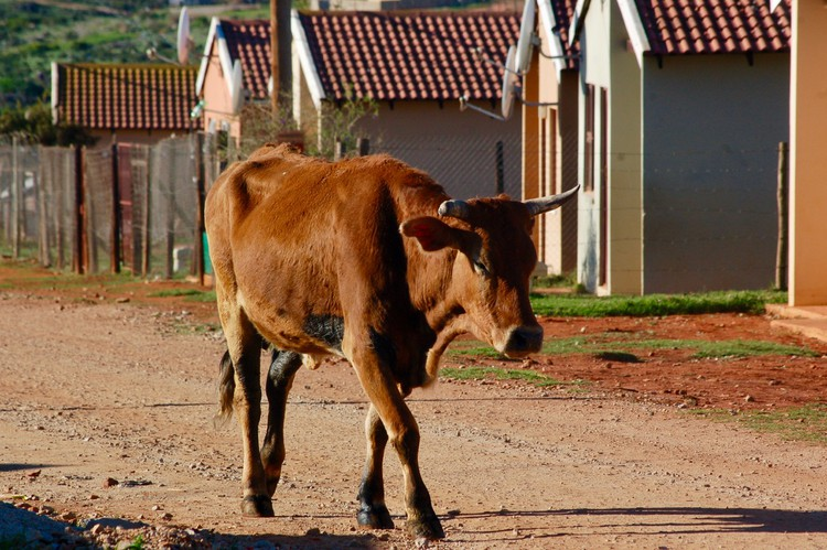 Photo of a cow in a street