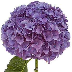 https://i2.wp.com/www.growerdirect.com/uploads/files/Images/hydrangea%20purple.jpg