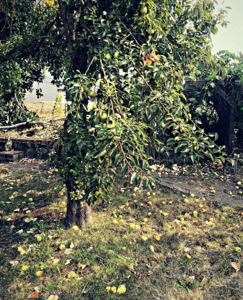 loaded pear tree