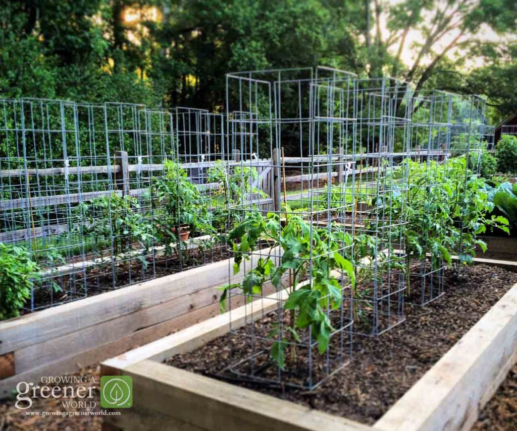 "My ""ultimate tomato cages"" at work in the GGWTV garden. There are 24 and counting!"
