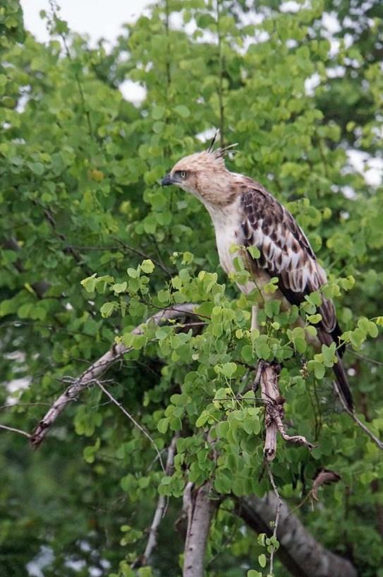 Hawk eagle in Sri Lanka