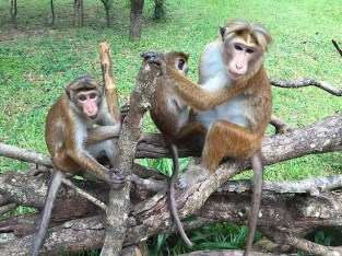 Cheeky monkeys at Sigiriya