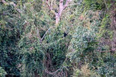Black Crested Gibbons