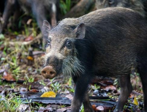 Bako National park bearded pig