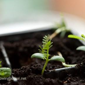 Acacia seedlings