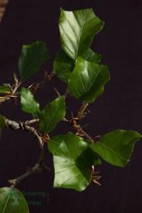 Fagus sylvatica, leaf cutting detail