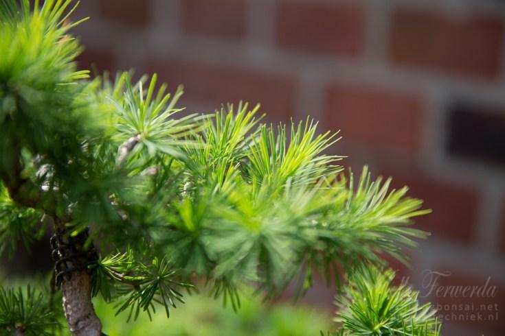 Larix bonsai after plucking
