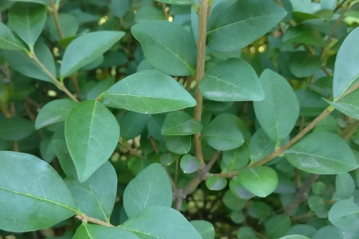 Privet - L. ovalifolium