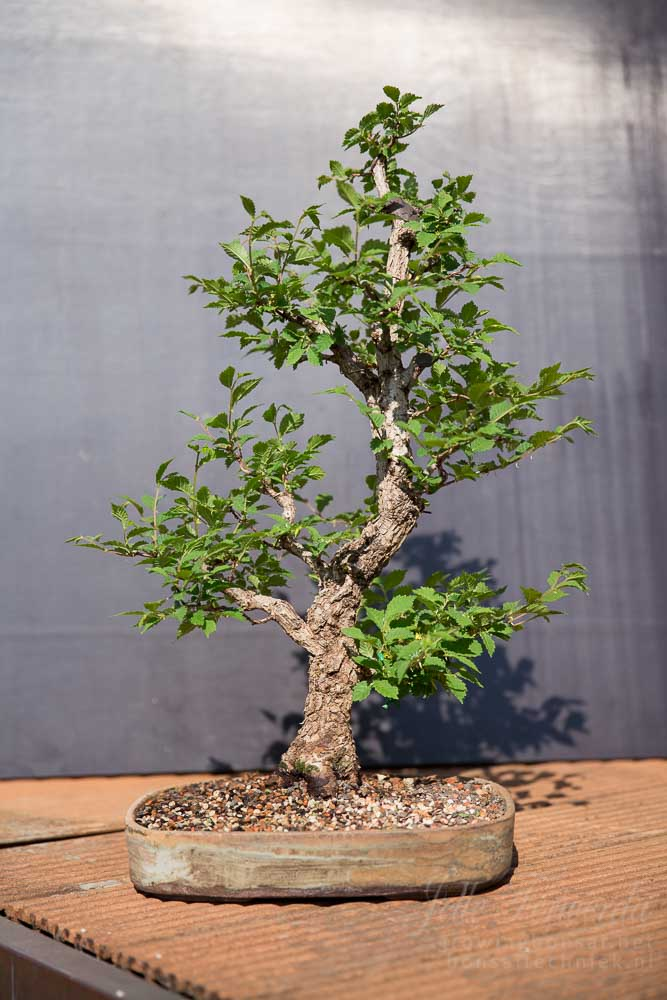 Bonsai ulmus after spring trim
