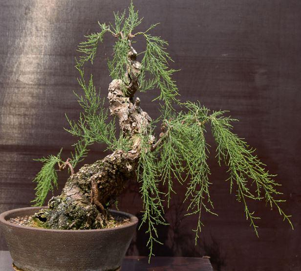 Tamarix bonsai full of surprises