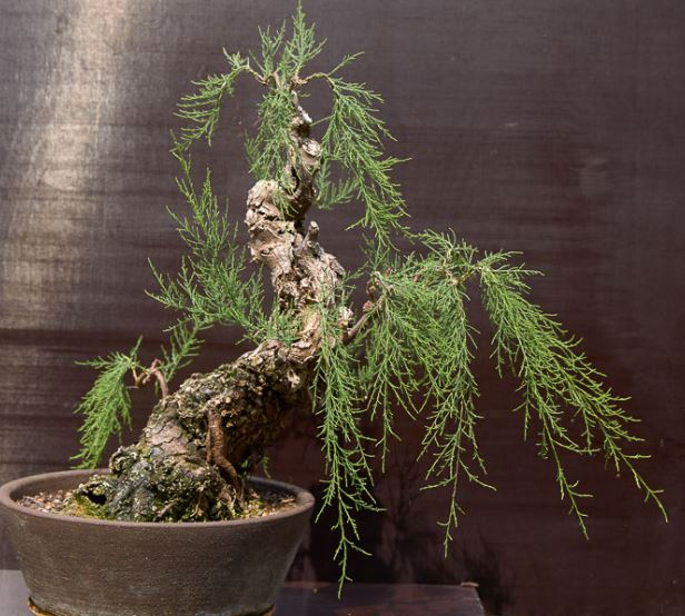 Tamarix bonsai