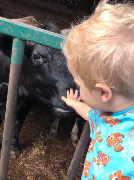 baby bear and cows