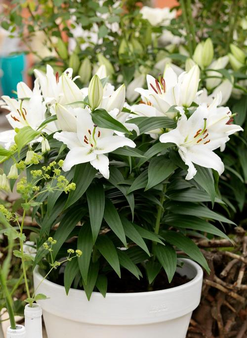 Lilium Oriental Pot Lily Sunny Okinawa From Growing Colors