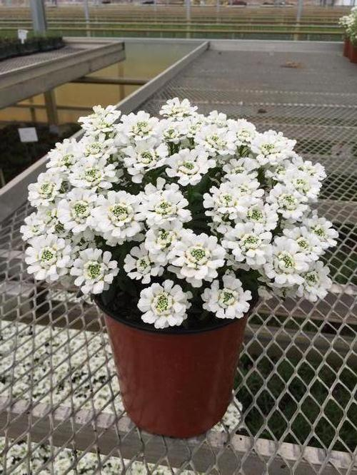 Candytuft Iberis Sempervirens Snowsurfer Forte From