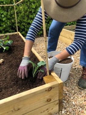 fertilising the broccoli bed