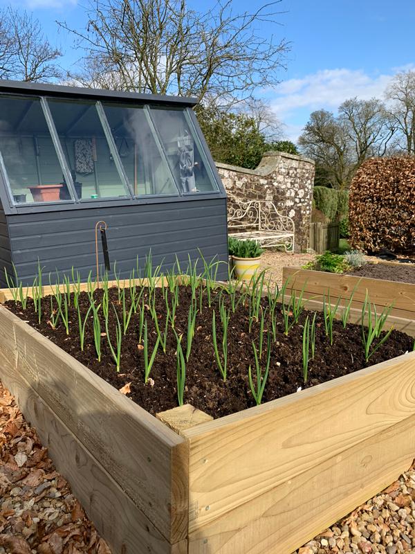 kitchen-garden-garlic