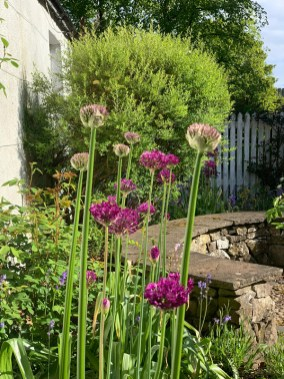 alliums-may-19