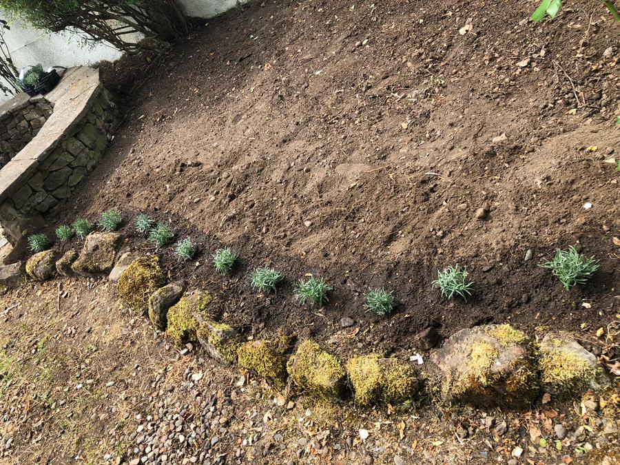 lavender-planted-july-2018