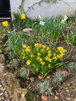 spring-daffs-March-2019
