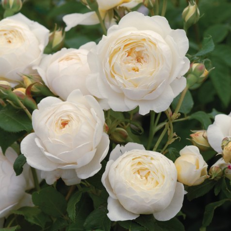 claire austin rose