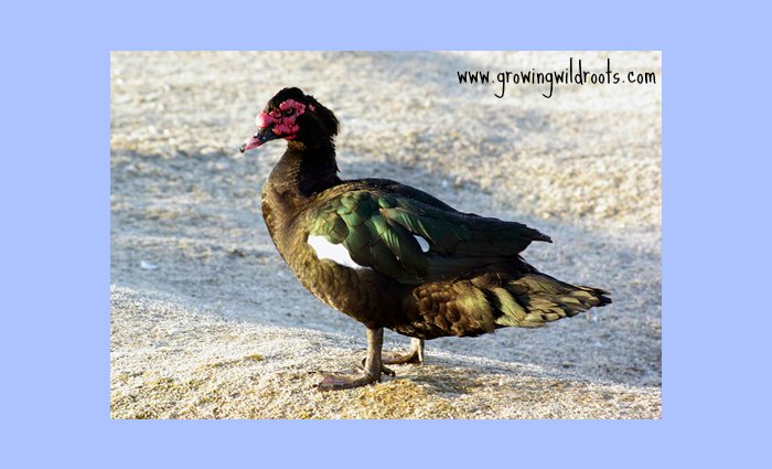 5 Reasons Muscovy Ducks May Not be Right for You. Why we no longer keep muscovies on the homestead. Pros and cons.