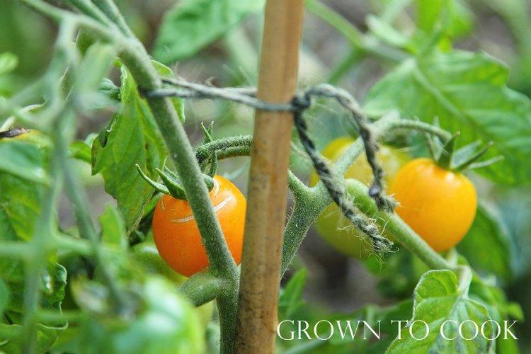 """tomato """"Ida Gold"""""""