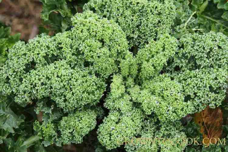 borecole - curly kale