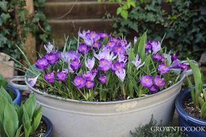 "Crocusses ""Vanguard"" & ""Flower Record"""