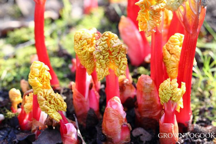 Blanched rhubarb