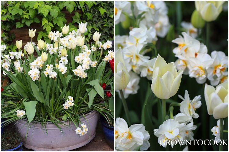 narcissi and tulips in containers