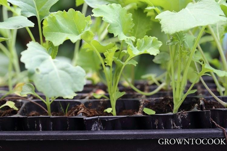 broccoli and kale seedlings