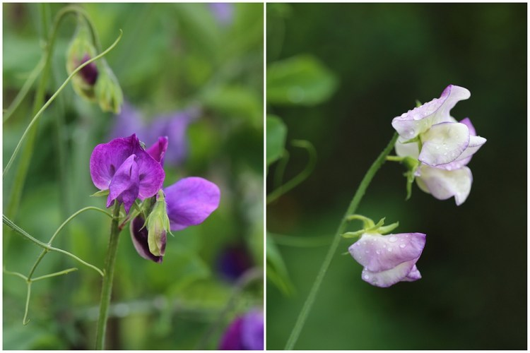 sweet pea matucana and king's high scent