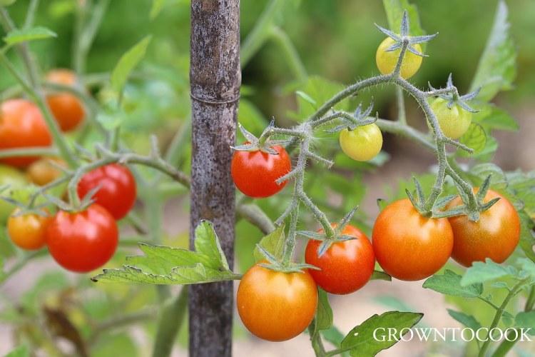 """tomato """"Losetto"""""""
