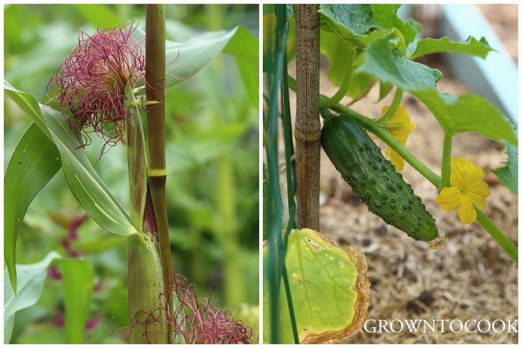 sweet corn & cucumber