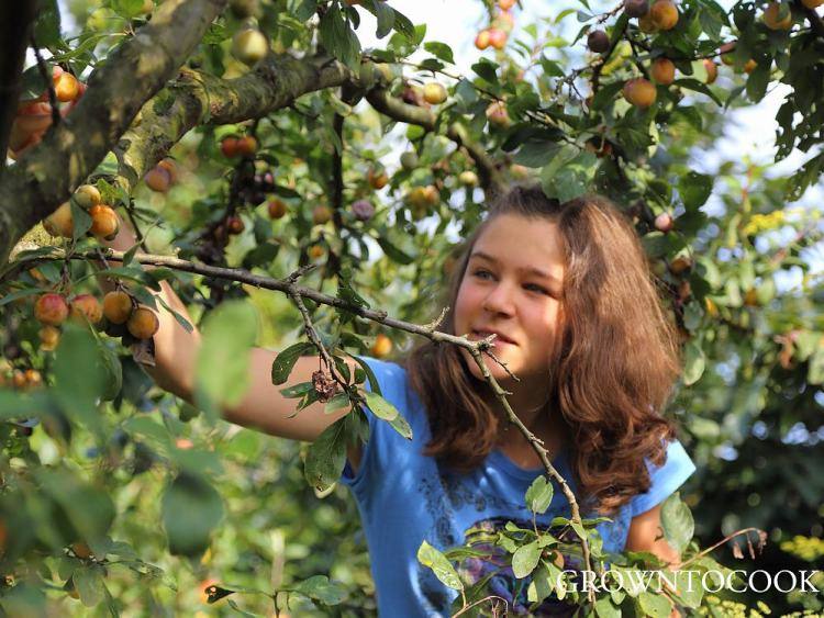 Esther picking mirabelles