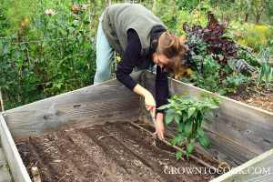 sowing wonter salads in the cold frame-6