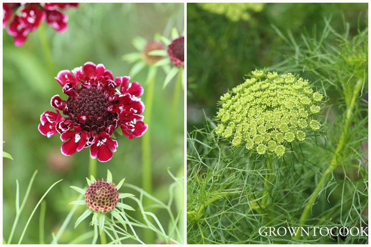 pincushion flower and ammi visnaga