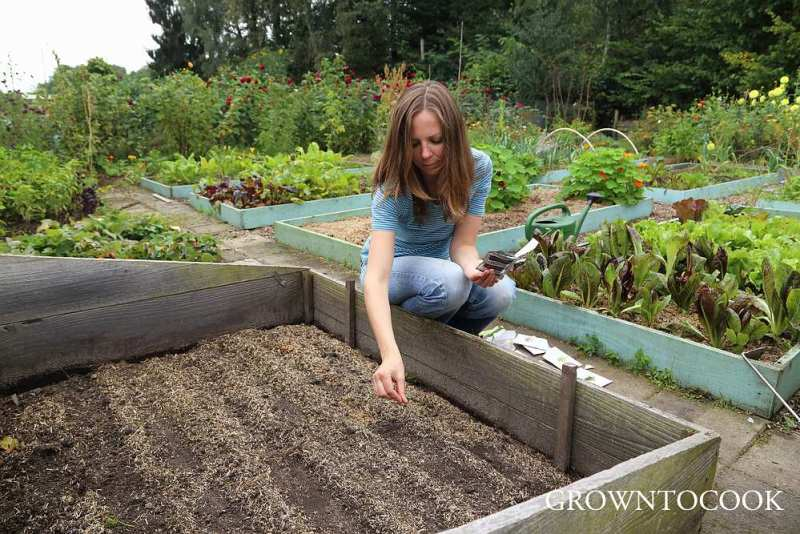 sowing winter greens in a cold frame