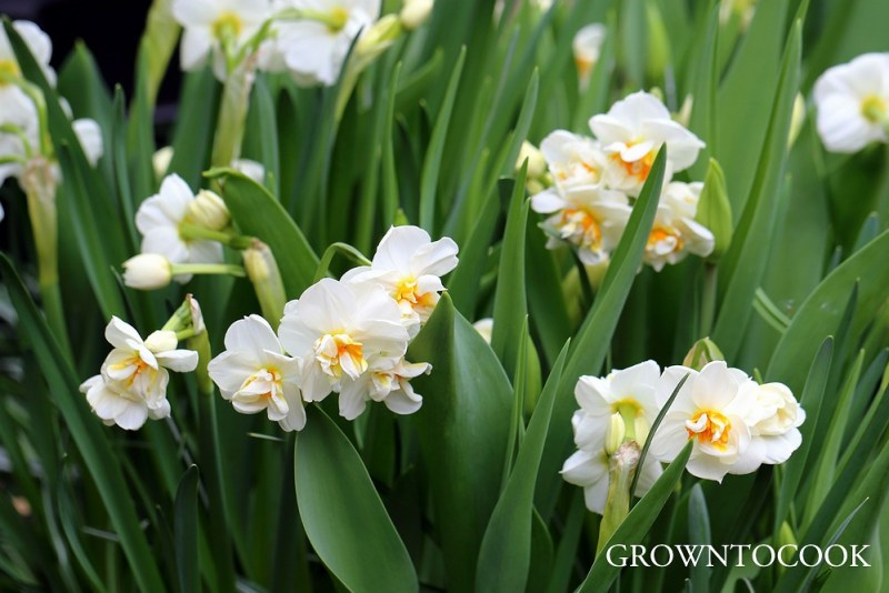 "narcissus ""Sir Winston Churchill"""