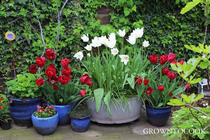 spring bulbs in containers